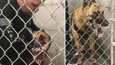 Este agente canino tuvo un encuentro inesperado durante una persecución que lo dejó herido