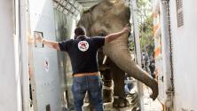"""Tras pasar años aislado, trasladan al """"elefante más solitario del mundo"""" a un santuario"""