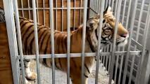 Llega el tigre de Houston a su nueva casa al noroeste de Texas