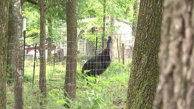Subastarán a la enorme y peligrosa ave que mató a su dueño en Florida