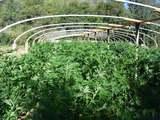 Operativo contra el narcotráfico: destruyen 32 toneladas de marihuana ilegal en el condado de Fresno