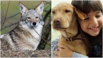 Consejos para evitar que un coyote atente contra su mascota o familia