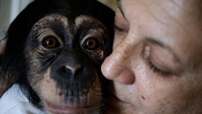 La bióloga que cría chimpancés en un apartamento de La Habana como si fueran sus propios hijos