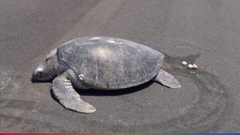 Tortuga sale del agua para poner sus huevos y se encuentra con la playa convertida en aeropuerto