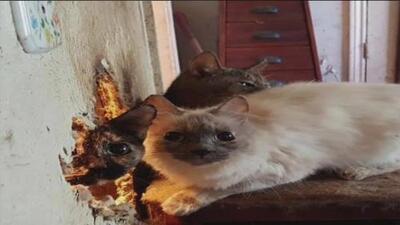 Rescatan a más de 80 gatos viviendo en condiciones deplorables en Denton