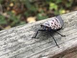La peor temporada: espere ver aún más moscas linterna manchadas este verano