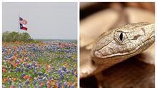 Llega la primavera y también la temporada de apareamiento de serpientes en Texas