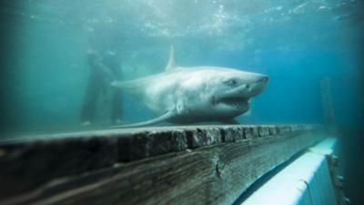 Este tiburón blanco de casi 10 pies de largo inquieta a los científicos por su inusual travesía