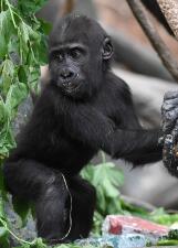 Celebran el primer cumpleaños de Ali, un tierno gorila que vive en el zoológico de Brookfield (fotos)