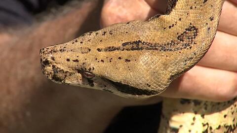 Una mujer se lleva la sorpresa de su vida al encontrar una serpiente de 7 pies en medio de su sala
