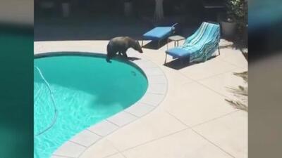 El videíto: Con la llegada del verano, este oso invade una piscina en California