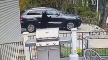 Como si fueran a viajar: el momento viral en el que un par de osos abren las puertas de una camioneta