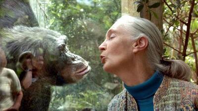 Jane Goodall: un retrato nunca antes visto lleva al cine la urgencia de la compasión por los animales
