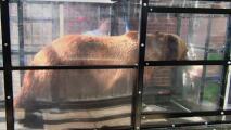Estudian a osos para saber los efectos del ejercicio. Conclusión: la pereza nos gana a todos
