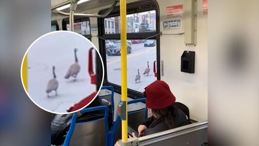 Gansos detienen el tránsito público en Chicago