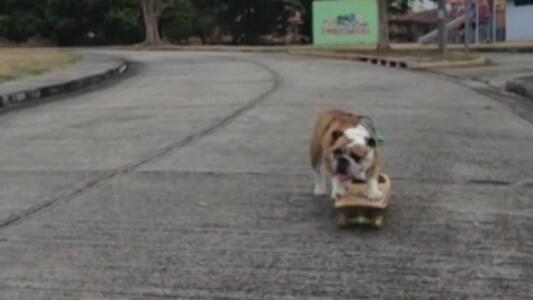 H, el perrito que se ha vuelto viral en TikTok por montar patineta