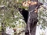 Sorprenden a osos 'cantando' sobre un árbol en el Parque Nacional Yosemite