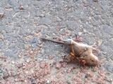 """Ante el anuncio de la llegada de los """"avispones asesinos"""" a EEUU, se viraliza video del ataque de una avispa a un ratón"""