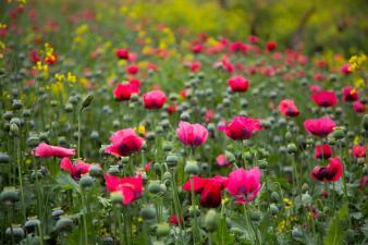 En Fotos: Así son los campos mexicanos donde se cultiva amapola, la flor de la que provienen los opioides