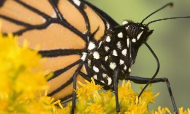 Menos mariposas monarcas llegaron este 2017 a México tras su migración anual desde el norte
