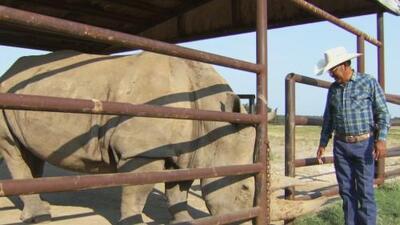 Hablar en español, el secreto del 'Encantador de Rinocerontes' para poder ganarse la confianza de estos animales