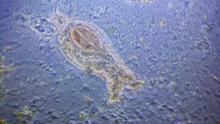 Descubren un organismo microscópico capaz de sobrevivir congelado cerca de 24,000 años