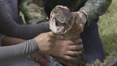 Así atrapó a esta serpiente de 16 pies un hombre de Florida (Video)