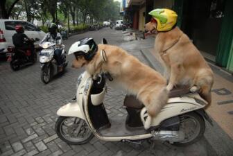 Ace y Armani son los perros motociclistas