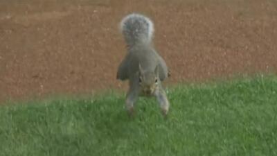 Una traviesa ardilla interrumpe un juego de béisbol de los White Sox de Chicago