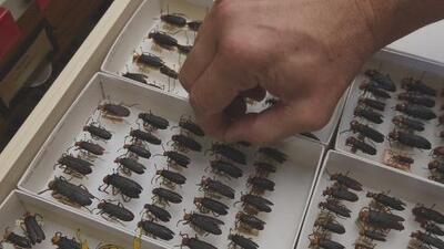 Revelan cuál fue la especie de escarabajos que sobrevolaba en el sur de California y que parecía una nube negra