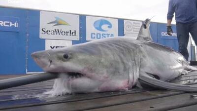 Más de 500 libras y casi 10 pies de largo: lo que sabemos del gigante tiburón blanco visto en el estrecho de Long Island