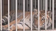 Tigre que deambulaba por las calles de Houston ya tiene un nuevo hogar