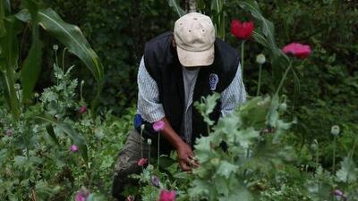 Aunque el opio produce sumas millonarias, campesinos que cultivan amapola apenas sobreviven