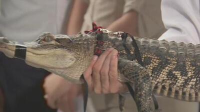 ¡Buena suerte 'Tito'! Florida será el nuevo hogar del famoso caimán de Humboldt Park