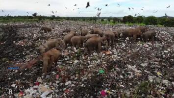 Elefantes tan hambrientos que comen de la basura: imágenes de drone muestran la desesperación de los animales