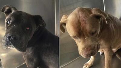 Dos perros pitbull atacan a una mujer en la calle, poco después hallan a su amo muerto en su casa