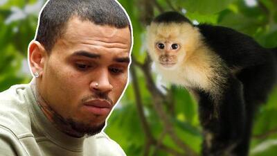 Chris Brown niega ser dueño de un mono capuchino que podría enviarlo a prisión