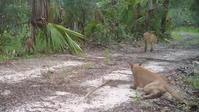 Panteras tambaleándose y cayéndose: las imágenes que alarmaron a las autoridades en Florida