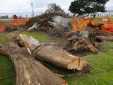 Se cae árbol que inspiró el cuento 'El Lorax' de Dr. Seuss