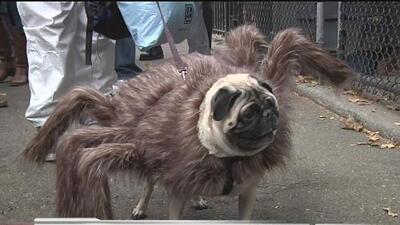 Desfile de perros de Halloween