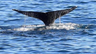 Esto es lo que debes saber si quieres ver a ballenas grises en las costas de Los Ángeles