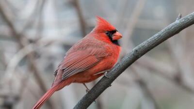 """""""Mitad macho, mitad hembra"""": el raro pájaro cardenal que avistó una pareja en Pennsylvania"""