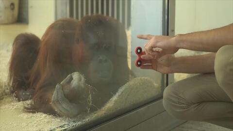 Un orangután prueba el adictivo 'fidget spinner' y esto es lo que pasó