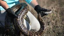 Florida tiene una nueva estrategia para combatir la invasión de serpientes pitones