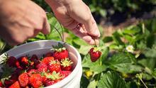 En esta finca en Marble Falls podrás recolectar fresas frescas