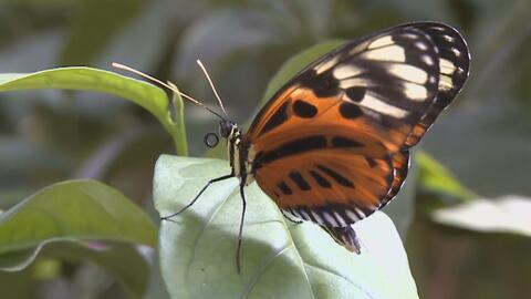 ¿A qué se debe que en las últimas semanas haya incrementado la presencia de mariposas en el sur de California?