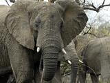Muere un cazador furtivo pisoteado por una manada de elefantes cuando huía de los guardabosques