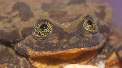 Romeo, una rana en extinción, busca compañera a través de una aplicación en internet