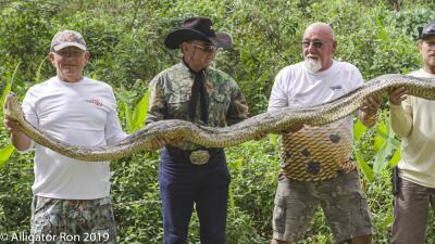 En fotos: la captura de una pitón depredadora de 4 metros y 50 huevos en Florida