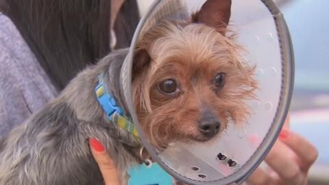 Hispana denuncia que su perro resultó seriamente herido tras llevarlo a un peluquero canino en Florida